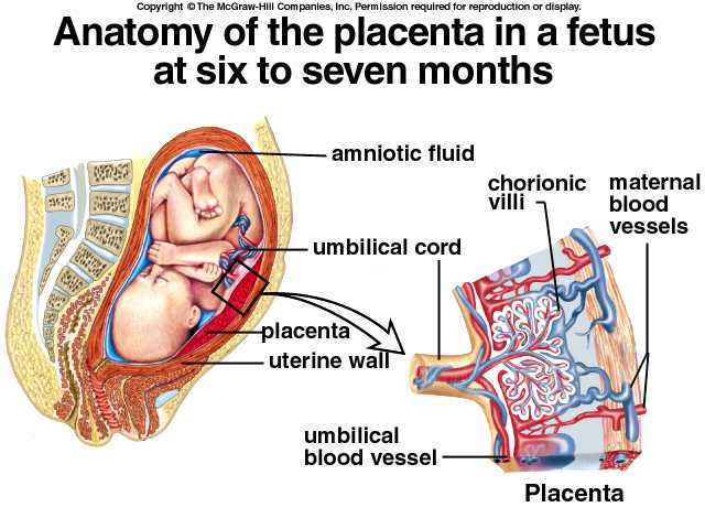of placental mammals  ...