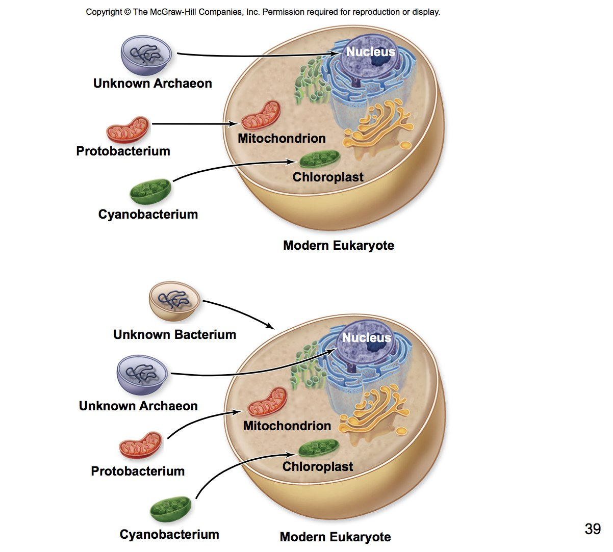 """endosymbiotic theory the modern or organelle biology essay Membrane-bound organelles """"compartmentalize"""" parts of the cell for specific  functions  her endosymbiotic theory is one of the mainstays of cell biology   the same size as modern day prokaryotes, have their own dna, and are capable  of  most textbooks have a summary table or diagram at the end of the cell  chapter."""