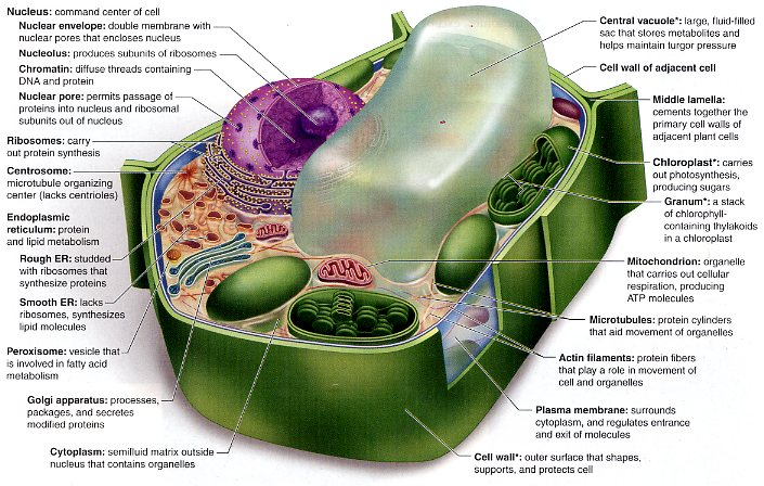 describe the structure of a generalized eukaryotic plant cell indicate the ways in which a nonphotos Plant cell structure plant cells are eukaryotic cells that differ in several key aspects from the cells of other is a good way to describe what collenchyma.