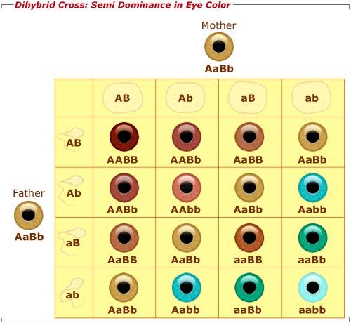 Pictures Of Polygenic Inheritance Eye Color Kidskunstfo