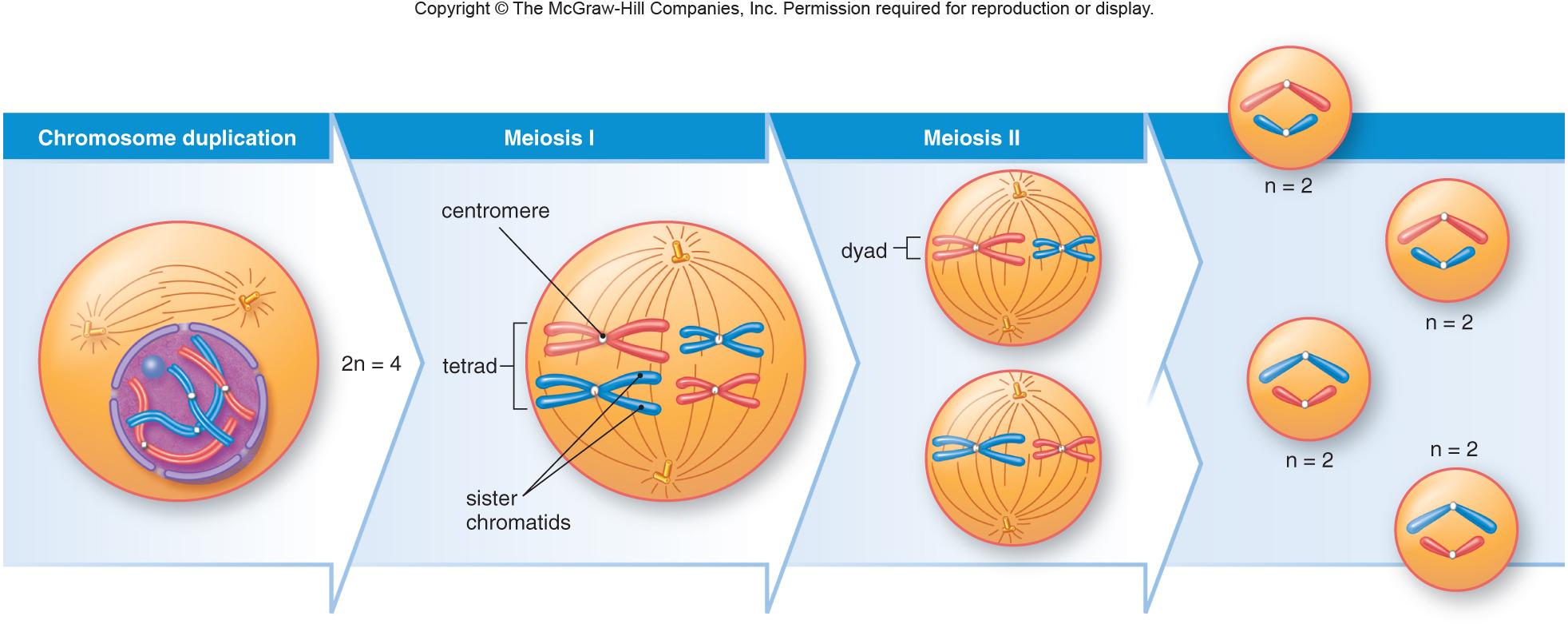 Meiosis sex cells